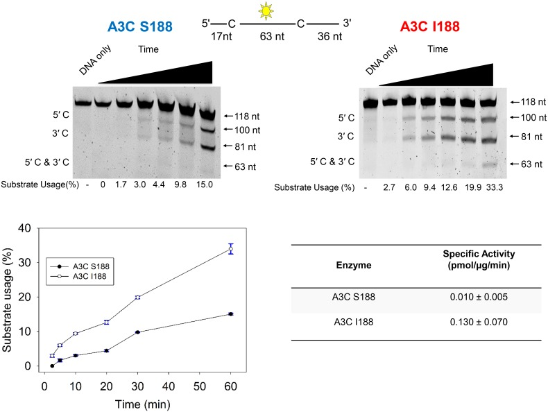 """In vitro characterization of APOBEC3C S188 and I188. (Top) The specific activity of APOBEC3C S188 and I188 was determined by incubating the enzyme with a 118 nt ssDNA substrate with an internal fluorescein label (yellow star) and 2 possible sites for cytidine deamination (marked as """"C""""). Single deaminations of the 5'C and 3'C are detected as the appearance of fluorescently labeled 100 nt and 81 nt fragments, respectively; double deamination of both C residues on the same molecule results in a 63 nt labeled fragment. Substrate usage is quantified for below each lane of the gels. (Bottom) The substrate usage during a 60 min time course was plotted from three independent experiments (bottom left) and used to calculate the specific activity of the enzymes (bottom right)."""