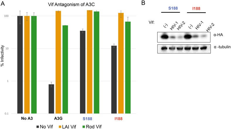 APOBEC3C is targeted by Vif. (A) Restriction of HIV-1 Δ vif by APOBEC3C S188 (A3C S188), APOBEC3C I188 (A3C I188), and full recovery of infectivity by the presence of HIV-1 (LAI strain) and HIV-2 (ROD strains) vif . 0.4μg of APOBEC3 plasmid was used for each condition, and 0.6μg of each provirus was used. Infectivity of each virus is set to 100% for infection with No APOBEC3 (No A3) present. Error bars represent standard deviation of three independent transfections and infections. Black bars indicate no Vif, orange bars indicate HIV-1 (LAI) Vif, and green bars indicate HIV-2 (ROD) Vif (B) Vif degradation of APOBEC3C S188 and I188 was detected by Western blot analysis. 0.4μg of APOBEC3C and 0.6μg of an HIV-1 provirus (either Δ vif , lane labelled as (-)) or containing HIV-1 vif or containing HIV-2 vif , lanes labelled as HIV-1 or HIV-2) were used to transfect 293T cells and lysates were probed for APOBEC3C expression. Tubulin was used as a loading control.