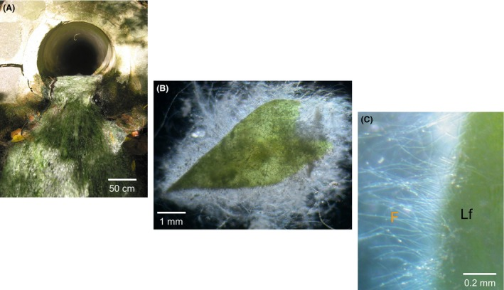 Association of biofilm with moss in the spring water of Marching. (A) Spring Marching with moss–microbial biofilm, (B) Moss Brachythecium rivulare (green part) is interfaced with the microbial biofilm (white part), and (C) microbial biofilm with fungus‐like filaments (F) interfacing moss leaf (Lf) after magnification using stereo microscopy.