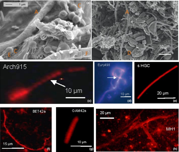 Biodiversity of Marching spring biofilm shown by electron microscopy and fluorescence in situ hybridization ( FISH ). (a, b) Electron microscope images of Marching biofilm showing (a) occurrence of, for example, coccoid archaea/bacteria (C), exopolymeric structures ( EPS ) structures (E), fungal hypha EH 8 (F), and (b) diatoms (D), microalgae (A); (c–e) FISH labeling of (c) coccoidae archaea (Arch915), (d) euryarchaeota (Eury498), (e) high G‐C content bacteria ( HGC ), (f) ß‐proteobacteria (beta42a), (g) γ ‐proteobacteria ( GAM 42a), and (h) Mucor hiemalis EH 8 ( MH 1) with spores are shown. The FISH ‐probes applied are denoted in c–h and in legend (see above and Experimental Procedures).