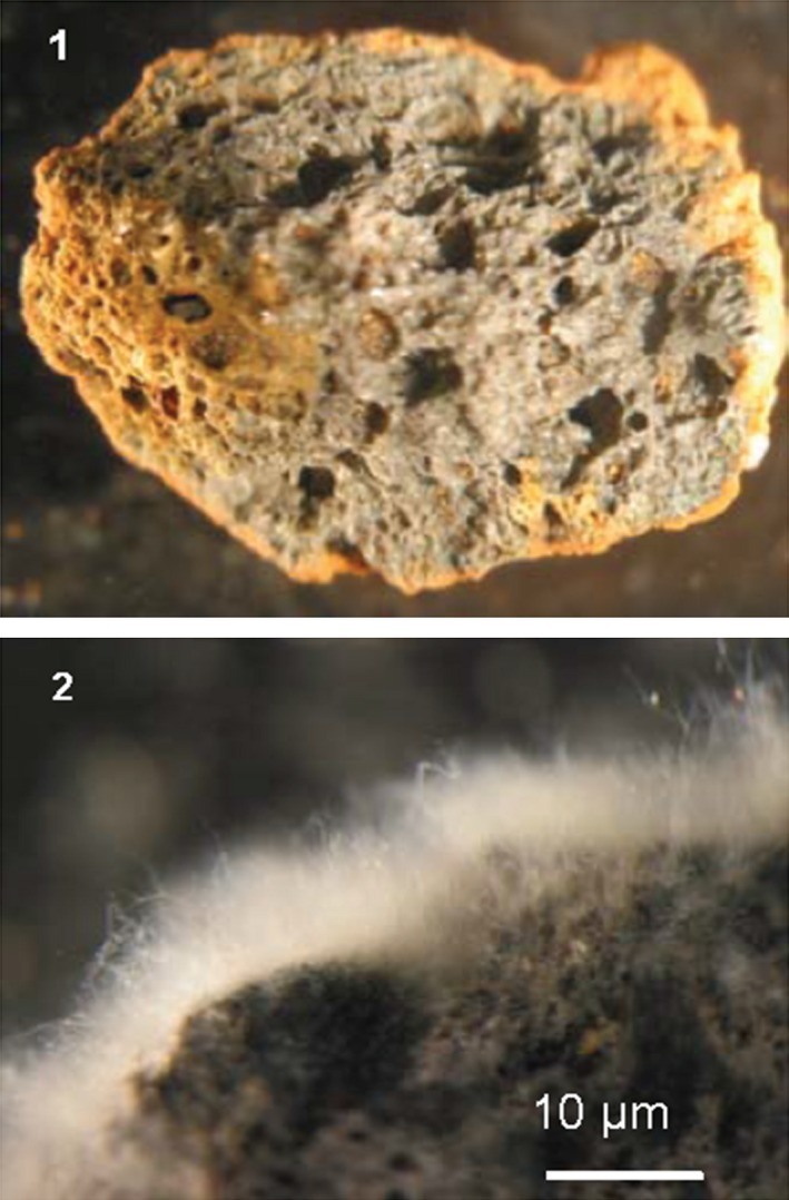 Growth of EH 8 on expanded clay. (1) Sterilized expanded clay (4–8 mm diameter) before cultivation, (2) EH 8's biofilm cultivated on expanded clay for in situ or ex situ treatment of mercury‐contaminated water even at low‐temperature sulfur‐reducing conditions.