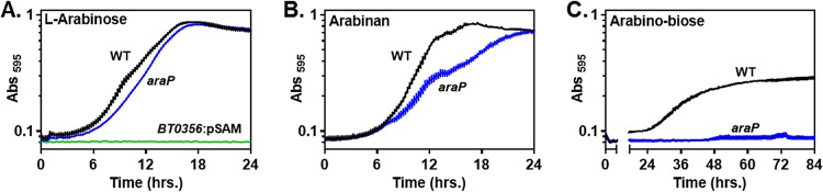 An araP mutant exhibits a significant growth defect on <t>arabinan.</t> (A) Growth of three B. thetaiotaomicron strains, one harboring a polar transposon insertion in the BT0356 gene ( BT0356 :pSAM, NS423), one deleted for the araP gene (NS401), and the isogenic wild-type strain (WT, GT23), in minimal medium containing 0.5% arabinose. (B) Growth of isogenic araP strain (NS401) and wild-type B. thetaiotaomicron in minimal medium containing 0.5% arabinan. (C) Growth of isogenic araP strain (NS401) and wild-type B. thetaiotaomicron in minimal medium containing 0.5% arabinobiose. Graphed are the mean and standard error of the mean from at least five independent replicates grown in the same plate.