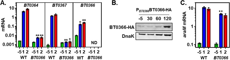 Arabinan promotes transcription of arabinan PUL genes and arabinose utilization genes in a BT0366- dependent manner. (A) mRNA levels of the BT0364 , BT0367 , and BT0366 genes in isogenic BT0366 (GT44) and wild-type (WT, GT23) B. thetaiotaomicron prior to the switch (−5) and after 1 and 2 h of exposure to minimal medium containing 0.1% arabinan. (B) Western blot of crude extracts from a strain specifying an HA-tagged BT0366 protein (NS204) collected from cultures grown to mid-log phase in minimal medium containing 0.5% glucose (−5) or 30, 60, and 120 min after switching to medium containing 0.1% arabinan. Data are representative of three independent experiments, which produced similar results. (C) mRNA levels of the araM gene in isogenic BT0366 mutant (GT44) and wild-type (GT23) B. thetaiotaomicron prior to the switch (−5) and after 1 and 2 h of exposure to minimal medium containing 0.1% arabinan. Graphed are the mean and standard error of the mean from at least three independent experiments. Asterisks indicate significant differences from the wild-type strain for BT0364 and BT0367 expression and significant difference from the −5 sample for BT0366 expression (*, P ≤ 0.05; **, P ≤ 0.01 by two-tailed Student's t test). Note log scale of y axis in panels A and C.