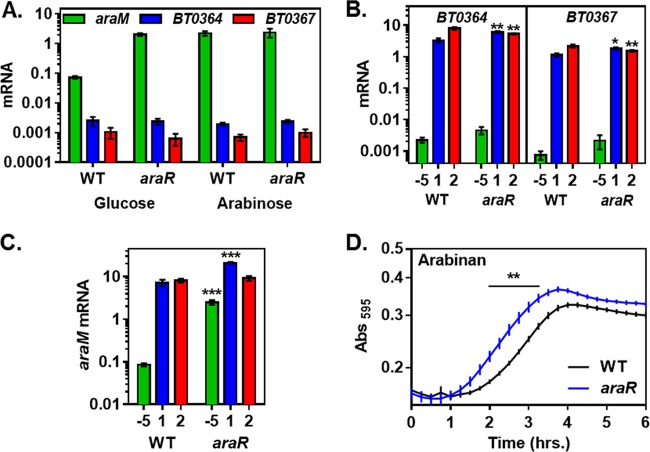 AraR is a repressor of arabinose and arabinan utilization genes. (A) mRNA levels of the araM , BT0364 , and BT0367 genes in isogenic araR (NS367) and wild-type (WT, GT23) B. thetaiotaomicron strains following growth in minimal medium containing 0.5% of either arabinose or glucose. (B) mRNA levels of the arabinan PUL genes BT0364 and BT0367 in isogenic araR (NS367) and wild-type (GT23) B. thetaiotaomicron strains prior to the switch (−5) and after 1 and 2 h of exposure to minimal medium containing 0.1% arabinan. (C) mRNA levels of the arabinose utilization gene araM in isogenic araR (NS367) and wild-type (GT23) B. thetaiotaomicron strains after 1 and 2 h of exposure to minimal medium containing 0.1% arabinan and prior to the switch (−5) to medium containing arabinan. (D) Growth of isogenic araR (NS367) and wild-type B. thetaiotaomicron (GT23) strains after switching from minimal medium containing 0.5% glucose to minimal medium containing 0.1% arabinan. Graphed are the mean and standard error of the mean from at least three independent experiments. Asterisks indicate significant difference from the wild-type strain (*, P ≤ 0.05; **, P ≤ 0.01; ***, P ≤ 0.001 by two-tailed Student's t test). Note log scale of y axis in panels A, B, and C.
