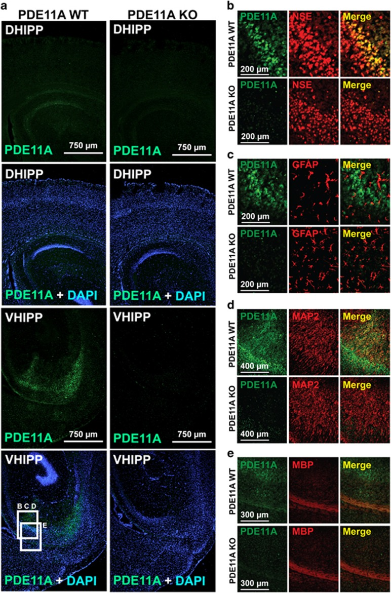 PDE11A4 is selectively expressed in neurons. Sagittal sections (~2.64 mm lateral from Bregma) were taken from <t>PDE11A</t> wild-type (WT) and knockout (KO) mice and stained for PDE11A4 (PD11A-112; green), nuclei (DAPI; blue), and a marker for neurons (neuron specific enolase, NSE; red), astrocytes (glial fibrillary acidic protein, <t>GFAP;</t> red), dendrites (MAP2; red), or axon bundles (myelin basic protein, MBP; red). (a) Staining for PDE11A4 is far stronger in hippocampi of PDE11A WT mice vs KO mice, arguing for specificity of the antibody. Further, PDE11A4 expression was far stronger in the ventral hippocampal formation (VHIPP) of PDE11A WT mice vs the dorsal hippocampal formation (DHIPP) of PDE11A WT mice, consistent with previous reports using in situ hybridization for mRNA and western blotting for protein. PDE11A4 protein can be seen in the cell body layer and throughout stratum radiatum of CA1. At the anterior edge of the CA1 field (facing left), a slightly more intense patch of staining that extends throughout stratum radiatum in the shape of a narrow triangle is reliably observed across animals. The anatomical localization of this staining suggests it may actually reflect CA2, although it is thought that CA2 is minimally present in VHIPP. Labeling in the cell body layer and stratum radiatum of ventral CA1 abruptly stops anteriorly at the border for CA3 and dorsally at the stratum lacunosum of dentate gyrus. Labeling for PDE11A4 can also be seen in the axon bundle projecting out of the hippocampus. (b) A closer view shows that PDE11A4 is expressed in a subset of neuronal cell bodies, particularly those neurons lying adjacent to the stratum radiatum. (c) In contrast, PDE11A4 does not appear to be expressed in astrocytes. (d) Consistent with its expression throughout the stratum radiatum, PDE11A4 protein expression colocalizes in some instances with the dendritic marker MAP2. (e) PDE11A4 protein expression also colocalizes with MBP. PDE11A4 protein expressi