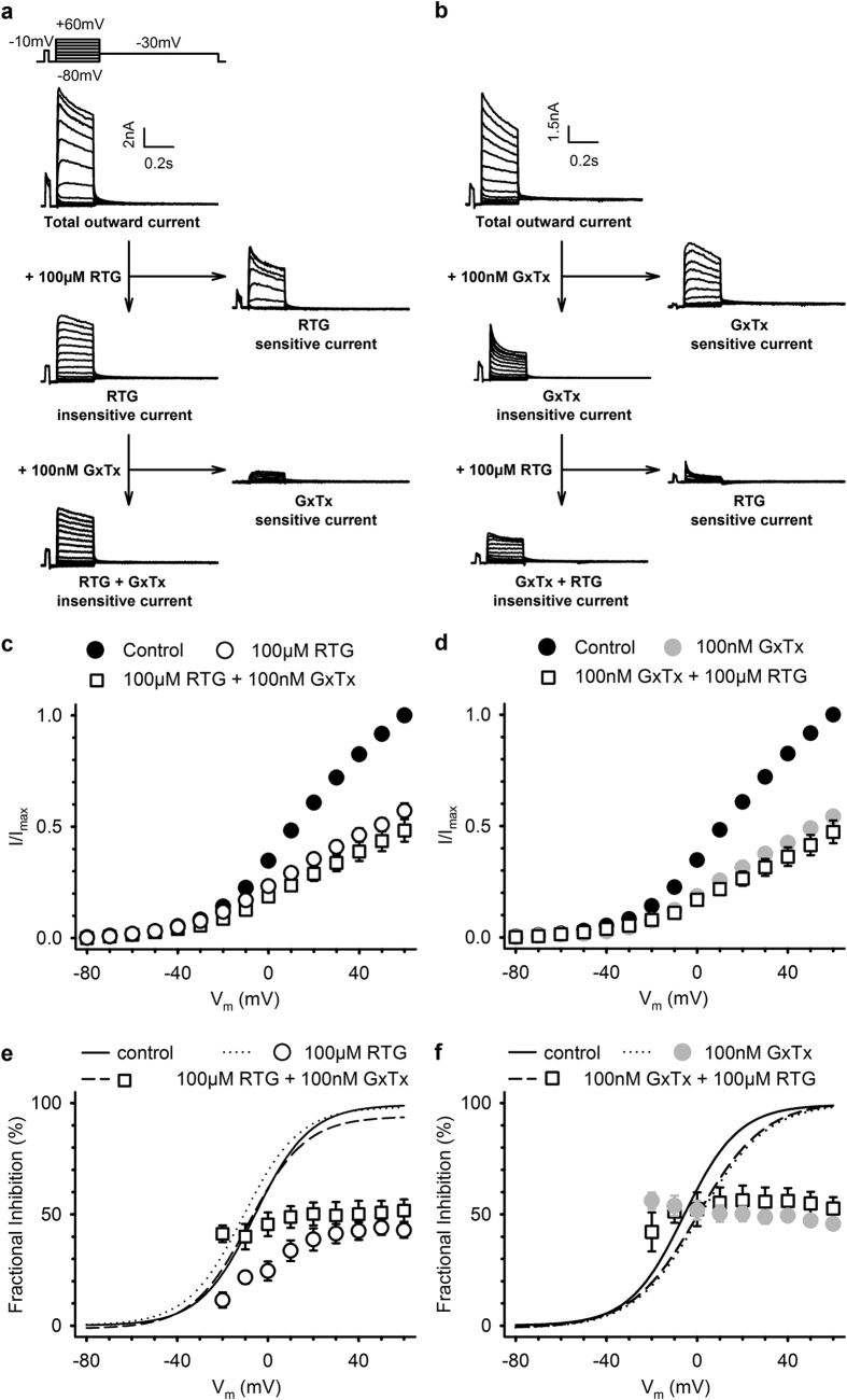 Retigabine inhibits the K V 2-mediated component of the outward current in cultured rat hippocampal neurons. ( a ) Representative current traces from cultured rat hippocampal neurons. 100 μM retigabine inhibited the outward current and the RTG-sensitive current was obtained after subtraction. 100 nM Guangxitoxin-1E (GxTx), i.e. selective K V 2 inhibitor, was used to confirm the inhibition of K V 2-mediated current by retigabine. Retigabine inhibited a major component of delayed rectifier current, with little inhibition caused by GxTx ( b ) similar to ( a ) although the K V 2-mediated current was first inhibited with GxTx before applying retigabine. Inhibition of the K V 2-mediated component of the current by GxTx resulted in little inhibition of retigabine. However, retigabine still inhibited a fast activating and inactivating current. ( c,d ) Current-voltage relationship, obtained by plotting the total outward current at the end of the 250 ms step as function of the voltage with retigabine ( c ) or GxTx ( d ) initial exposure. ( e,f ) Fractional inhibition as a function of the applied voltage. As observed in HEK cells ( Fig. 3f ), retigabine ( e ) had a voltage-dependence of inhibition that could be abolished after subsequent exposure to GxTx. Panel ( f ) is similar to ( e ) but with initial exposure to GxTx. Lines represent the voltage-dependence of activation fitted with the Boltzmann equation.