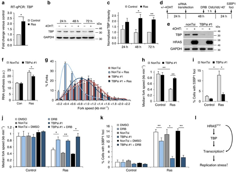 TBP is an effector in HRAS V12 -induced replication stress. ( a ) TBP mRNA quantification by quantitative reverse transcriptase–PCR in BJ-HRAS V12 cells 72 h after RAS induction. TBP mRNA levels were normalized to GAPDH and control. ( b ) Protein levels of TBP and β-ACTIN after RAS induction for the times indicated. ( c ) Densitometry quantification of TBP levels based on western blotting as in b after RAS induction for the times indicated. Values were normalized to 72 h control. N =3 (24 and 48 h), N =6 (72 h). ( d ) Twenty-four hours after RAS induction, cells were transfected with TBP siRNA (TBPsi #1) or control siRNA (nonTsi). Cells were processed for DNA fibre analysis or western blotting 48 h later and for 53BP1 staining 24 h later. ( e ) Protein levels of TBP, HRAS and GAPDH (loading control) 72 h after RAS induction and 48 h after siRNA transfection. ( f ) Quantification of nascent RNA synthesis by EU incorporation ±TBPsi #1 72 h after RAS induction. N =3. ( g ) Distribution of replication fork speeds ±TBPsi #1 72 h after RAS induction. N =3. ( h ) Median replication fork speeds ±TBPsi #1 72 h after RAS induction. N =3. ( i ) Percentages of cells containing more than eight 53BP1 foci, ±TBPsi #1 96 h after RAS induction. N =3. ( j ) Median replication fork speeds in cells treated with TBPsi #1 and DRB 72 h after RAS induction, compared with TBPsi #1 or DRB alone. N =3. ( k ) Percentages of cells treated with TBPsi #1 and DRB containing more than eight 53BP1 foci after 96 h after RAS induction, compared with TBPsi #1 or DRB alone. N =3. ( l ) Model for the role of TBP in HRAS V12 -induced replication stress. Means ±s.e.m. (bars) are shown. Student's t -test, * P