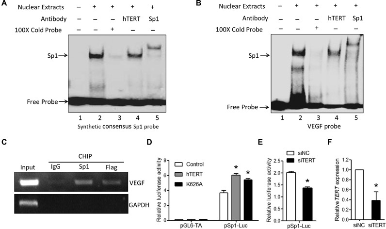 hTERT binds to the VEGF promoter. ( A and B ) HeLa cell nuclear extracts were prepared 48 h after cells were transfected with hTERT expression vectors. EMSA supershift analyses using the (A) synthetic consensus Sp1 probe or the VEGF probe containing ( B ) three Sp1 binding sites were performed via the addition of specific hTERT or Sp1 antibodies. ( C ) HeLa cells were transfected with vectors expressing Flag-hTERT, and ChIP assays were performed using the Flag antibody and Sp1 antibody. IgG was used as the negative control. The signal enrichment with each antibody was measured by PCR using primers specific for VEGF or GAPDH as the negative control. The data shown are representative of two independent experiments. ( D ) HeLa cells were transiently transfected with the indicated vectors, along with the luciferase reporter pSp1-luc or pLG6-TA as a control. ( E ) siTERT or control siRNA was transfected into HeLa cells, along with pSp1-luc. Luciferase activity was determined 48 h after transfection. ( F ) The knockdown efficiency of hTERT expression by hTERT siRNAs was evaluated by qPCR analysis.