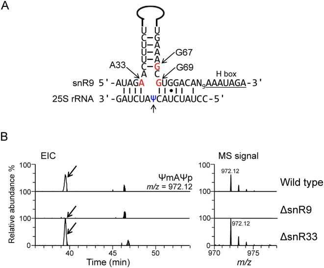 Deletion of snR9 prevents pseudouridylation of U2345. ( A ) Potential base-pairing interactions between snR9 and Sc 25S rRNA. The upper sequence is that of the snoRNA snR9 with its hairpin shown as a solid line. The positions of A33, G67 and G69, which were mutated in our study, are indicted by the arrows. The lower sequence is that of the 25S rRNA around Ψ2345. The lower arrow points to Ψ2345. ( B ) Extracted ion chromatogram (EIC) of the fragments containing 2345 ΨmA 2347 Ψp produced by the RNase A digestion of the 25S rRNA from wild-type (upper panel), ΔsnR9 (middle panel) and ΔsnR33 (lower panel) Sc strains. The strains were cultured in the U/C-5-D labelling medium at 30°C and purified 25S rRNA was digested with RNase A. Each digest (50 fmol) was subjected to LC-MS. The sequence and m/z value of ΨmAΨp are shown in the figure. The most intense signal in the ΔsnR33 spectrum was set to a relative intensity of 100%, and the peaks in the wild-type spectrum were scaled accordingly. The arrows in the left panels indicate the position of the MS signal for the Ψm2345-containing fragment, which was not detected in the ΔsnR9 chromatogram.