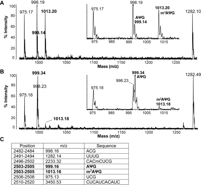Reduction of in vivo methylation at A2503 upon expression of BsubB supports the dominant negative function of the evolved variants. MALDI-TOF mass spectrum of the C2480–C2520 fragment of E. coli 23S rRNA isolated from the WT E. coli BW25113 strain carrying an ( A ) empty plasmid, or expressing ( B ) evolved BsubB variant. RNA was digested by RNase T 1 and analyzed by MALDI-TOF. Comparison between the insets shows a significant reduction in the amount of methylated 2503-m 2 AΨG-2505 fragment at m/z 1013.16 when the BsubB variant is overexpressed. ( C ) A list of the expected RNase T 1 digestion fragments based on the rRNA sequence with presently known nucleotide modifications. Cm is methylated cytosine, m 2 A is 2-methyladenosine, and Ψ indicates pseudouridine.