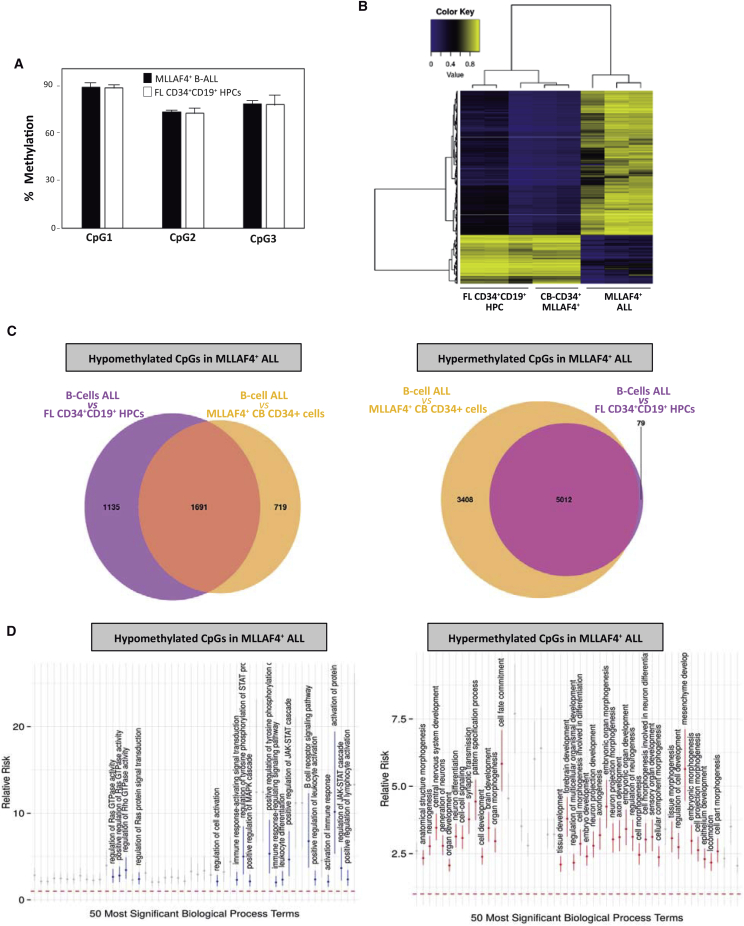 DNA Methylation Differences Observed in MLL-AF4 + B Cell Blasts Versus CD34 + Cells Expressing MLL-AF4 and CD34 + CD19 + B Cell HPCs (A) Global DNA methylation analysis by pyrosequencing of LINE-1 elements in MLL-AF4 + blasts and normal CD34 + CD19 + B cell HPCs (n = 3 independent experiments). Error bars indicate SD. (B) Unsupervised hierarchical clustering and heatmap showing the CpG sites with differential DNA methylation between MLL-AF4 + blasts versus normal CD34 + CD19 + B cell HPCs and CD34 + cells expressing ectopic MLL-AF4. Average methylation values are displayed from 0 (blue) to 1 (yellow). (C) Venn diagrams showing the number of CpG sites differentially hypomethylated (left) or hypermethylated (right) in MLL-AF4 + blasts versus normal CD34 + CD19 + B cell HPCs and CD34 + ectopically expressing MLL-AF4. (D) Selection of GO terms from the top 50 statistically significant biological functions, ranked by p value (x axis), of genes differentially hypomethylated (left) or hypermethylated (right) in MLL-AF4 + blasts versus normal CD34 + CD19 + B cell HPCs and CD34 + ectopically expressing MLL-AF4. The y axis indicates the relative risk (±95% confidence intervals) as a measure of effect size. The relative risk is the ratio of the proportion of genes belonging to a given GO term in a selected subset of genes to the same proportion in the remaining, background genes.