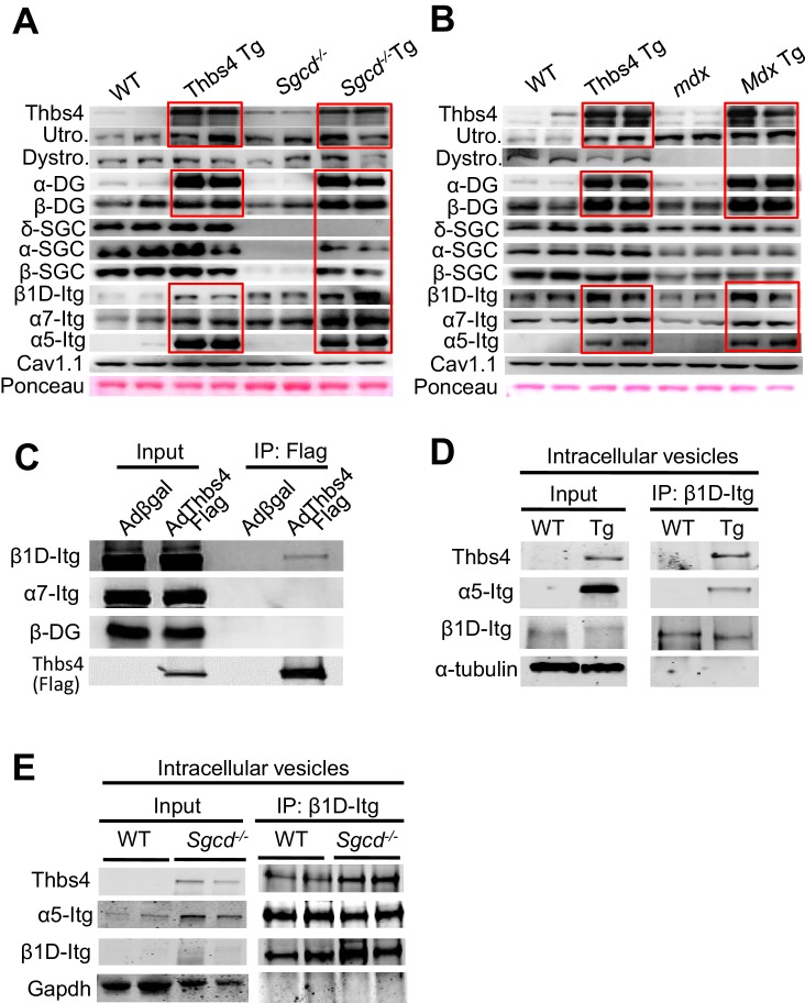 Thbs4 enhances stabilizing proteins at the sarcolemma and directly interacts with integrins. ( A , B ) Representative Western blots of sarcolemmal protein extracts from the quadriceps of the indicated groups of mice at three months of age (n = 4–5 biological replicates). Sgcd -/- Tg and mdx Tg indicate Sgcd -/- and mdx with skeletal muscle specific Thbs4 overexpression, respectively. Ponceau staining of a nonspecific band and dihydropyridine receptor α1 (Cav1.1) were used as loading controls. Abbreviations: Utro, utrophin; Dystro, dystrophin; Dysfer, dysferlin; α-DG, α-dystroglycan; β-DG, β-dystroglycan; δ-SCG, δ-sarcoglycan; α-SCG, α-sarcoglycan; β-SGC, β-sarcoglycan; β1D-, α7- and α5-itg (integrin). ( C ) Immunoblots for β1D- and α7-Integrin (Itg), β-dystroglycan (DG) and Thbs4 (Flag) from neonatal rat ventricular myocyte extracts immunoprecipitated with a Flag antibody (Thbs4). Adβgal was used as a control infection (n = 3 biological replicates). An adenovirus expressing a Flag-tagged Thbs4 protein was used to achieve high level of this protein to identify the interaction. ( D , E ) Representative Western blots for Thbs4, α5- and β1D-integrin (itg) from intracellular vesicular isolates from WT and Thbs4 Tg quadriceps ( D ) or WT and Sgcd -/- quadriceps ( E ) that were immunoprecipitated with an antibody raised against the cytoplasmic domain of β1D-integrin (n = 3 biological replicates), showing that Thbs4 and α5-integrin localize to β1D-integrin-positive intracellular vesicles. α-tubulin and Gapdh are presented as loading control. DOI: http://dx.doi.org/10.7554/eLife.17589.019