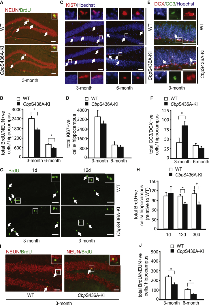 Adult Mice Lacking CBPS436 Phosphorylation Show a Reduction in Adult Neurogenesis (A) Fluorescence images of hippocampal sections from 3-month-old Cbp S436A ( Cbp S436A-KI) and their wild-type littermates (WT), euthanized 12 days after BrdU injections and stained for BrdU (green) and NEUN (red). The insets show the boxed areas at higher magnification. Arrows represent double-labeled BrdU/NEUN-positive neurons. Scale bar, 100 μm. (B) Quantitative analysis of the total number of BrdU/NEUN-positive newborn neurons in the hippocampi from 3- to 6-month-old WT and Cbp S436A-KI mice. ∗ p