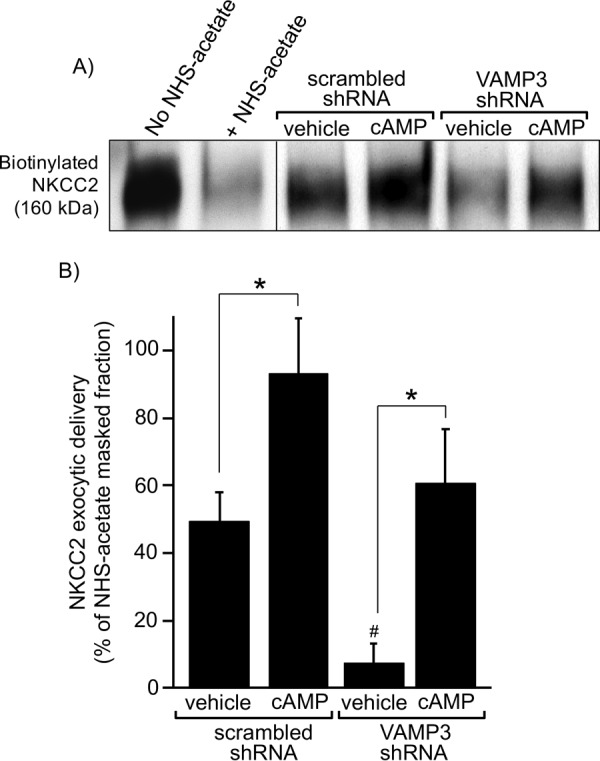 Silencing VAMP3 blocks constitutive NKCC2 exocytic delivery in rat TALs. A , representative Western blot showing masking of surface biotinylation sites by NHS-acetate at 4 °C and reappearance of surface NKCC2 signal after exocytic delivery at 37 °C in TALs transduced with scrambled or VAMP3-shRNA. TALs were treated with vehicle or forskolin + IBMX to stimulate cAMP. The vertical division line separates non-consecutive lanes in the same gel and film. B , quantification of NKCC2 exocytic delivery at 30 min in rat TALs measured as biotinylated NKCC2 at the surface after masking with NHS-acetate. In rats transduced in vivo with VAMP3-shRNA, constitutive NKCC2 exocytic delivery was decreased by 86% after silencing VAMP3. However, cAMP was still able to stimulate NKCC2 exocytic delivery after silencing VAMP3. For every experiment (scrambled-shRNA and VAMP3-shRNA), the difference between the non-NHS-acetate masked fraction and the NHS-acetate masked fraction at time 0 was used as reference to calculate the NHS-acetate masked fraction. The values represent the mean percentages of NHS-acetate masked fraction. Error bars represent ± S.E. *, p