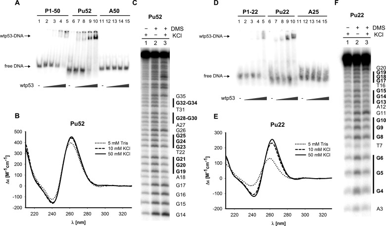 Full-length wild-type p53 binding to the parallel G-quadruplex from MYC promoter NHE III 1 region is comparable with p53CON binding ( A ) Comparison of sequence-specific and MYC G-quadruplex Pu52 binding of p53 by EMSA. Oligonucelotides P1-50 (0.25 pmol, lanes 1–5), Pu52 (1 pmol, lanes 6–10) and A50 (0.25 pmol, lanes 11–15) were incubated with wtp53 protein (50, 100, 200, 400 ng/1 pmol of oligonucleotide) in the presence of 20 ng (per 1 pmol of oligonucleotide) of non-specific competitor pBSK/EcoRV. ( B ) CD spectra of Pu52 oligonucleotide measured in 5 mM Tris pH 7.6 (dotted line) and after addition of 10 mM KCl (dashed line) and 50 mM KCl respectively (solid line). ( C ) DMS footprinting of Pu52 oligonucleotide. Pu52 was annealed in 50 mM KCl without subsequent DMS treatment (lane 1), annealed in the absence of KCl and treated with DMS (lane 2) or annealed in 50 mM KCl and treated with DMS (lane 3). ( D ) Comparison of sequence-specific and MYC G-quadruplex Pu22 binding of p53 by EMSA. Oligonucelotides P1-22 (0.25 pmol, lanes 1–5), Pu22 (1 pmol, lanes 6–10) and A25 (0.25 pmol, lanes 11–15) were incubated with wtp53 protein (50, 100, 200, 400 ng/1 pmol of oligonucleotide) in the presence of 20 ng (per 1 pmol of oligonucleotide) of non-specific competitor pBSK/EcoRV. ( E ) CD spectra of Pu22 oligonucleotide measured in 5 mM Tris pH 7.6 (dotted line) and after addition of 10 mM KCl (dashed line) and 50 mM KCl respectively (solid line). ( F ) DMS footprinting of Pu22 oligonucleotide. Pu22 was annealed in 50 mM KCl without subsequent DMS treatment (lane 1), annealed in the absence of KCl and treated with DMS (lane 2) or annealed in 50 mM KCl and treated with DMS (lane 3).