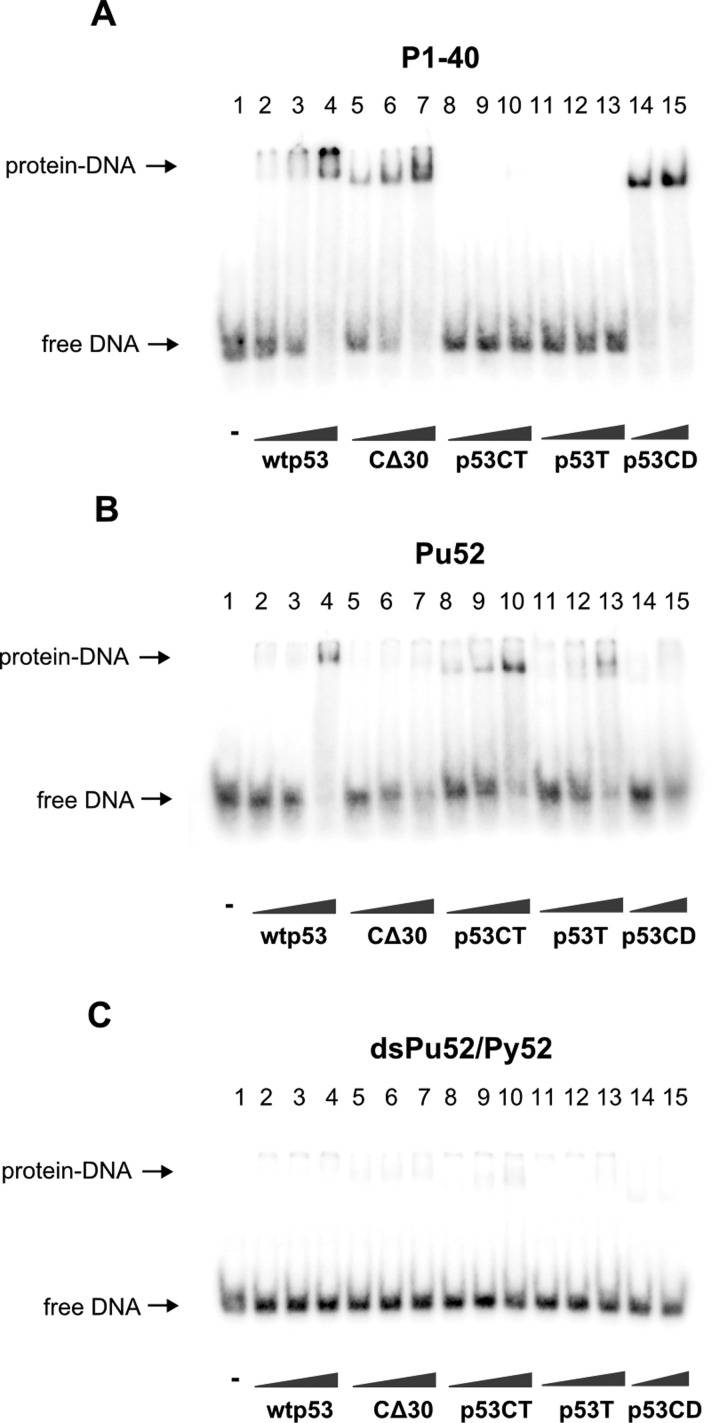 Wild-type p53 and C-terminal region of p53 bind G-quadruplex Pu52 with higher affinity than double-stranded Pu52/Py52 Binding of various p53 protein constructs to MYC promoter G-quadruplexes from was studied by EMSA. Oligonucleotides ( A ) P1-40 (0.5 pmol), ( B ) Pu52 (1 pmol) and ( C ) dsPu52/Py52 (0.5 pmol) were incubated with wtp53 (lanes 2–4; 25, 50, 100 ng/1 pmol of oligonucleotide), CΔ30 (lanes 5–7; 25, 50, 100 ng/1 pmol of oligonucleotide), p53CT (lanes 8–10; 50, 100, 200 ng/1 pmol of oligonucleotide), p53T (lanes 11–13; 50, 100, 200 ng/1 pmol of oligonucleotide) or p53CD (lanes 14 and 15; 100, 200 ng/1 pmol of oligonucleotide) in the presence of 20 ng (per 1 pmol of oligonucleotide) of non-specific competitor pBSK/EcoRV.
