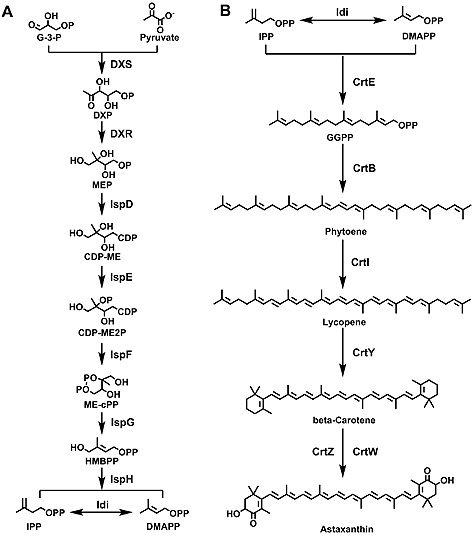 Proposed astaxanthin biosynthetic pathway in Sphingomonas sp. ATCC 55669. ( A ) In the strain Sphingomonas sp. ATCC 55669, upstream events via the MEP pathway to get the precursors IPP and DMAPP. ( B ) The downstream carotenoid pathway involved the conversion of intermediates IPP and DMAPP to astaxanthin. DXS, 1‐deoxy‐D‐xylulose‐5‐phosphate synthase; DXR, 1‐deoxy‐D‐xylulose‐5‐phosphate reductoisomerase; IspD, 2‐ C ‐methyl‐D‐erythritol 4‐phosphate cytidylyltransferase; IspE, 4‐diphosphocytidyl‐2‐ C ‐methyl‐D‐erythritol kinase; IspF, 2‐ C ‐methyl‐D‐erythritol 2,4‐cyclodiphosphate synthase; IspG, (E)‐4‐hydroxy‐3‐methylbut‐2‐enyl‐diphosphate synthase; IspH, 4‐hydroxy‐3‐methylbut‐2‐enyl diphosphate reductase. G‐3‐P,D‐glyceraldehyde 3‐phosphate; DXP, 1‐deoxy‐D‐xylulose 5‐phosphate; CDP‐ME, 4‐(cytidine 5'‐diphospho)‐2‐ C ‐methyl‐D‐erythritol; CDP‐ME2P, 2‐phospho‐4‐(cytidine 5'‐diphospho)‐2‐ C ‐methyl‐D‐erythritol; ME‐cPP, 2‐ C ‐methyl‐D‐erythritol 2,4‐cyclodiphosphate; HMBPP, 1‐hydroxy‐2‐methyl‐2‐butenyl 4‐diphosphate.