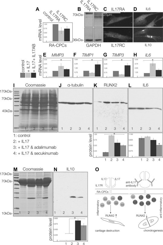 The effects of IL‐17 on RA‐CPCs: expression of IL‐17RA and IL‐17RC receptor mRNA (A), Western blots (B), and immuncytochemistry (C) of the IL‐17RA and IL‐17RC proteins. RA‐CPCs are also positive for IL‐6 (D, upper), as well as IL‐10 (D, lower). MMP3 mRNA was significantly upregulated by IL‐17 (E). TIMP1 (F) and TIMP3 (G) were significantly downregulated. However, IL‐6 was significantly upregulated by IL‐17 (H). In contrast, blocking IL‐17 (IL‐17AB) produced the opposite effects (E–H). Western blot analysis (I, J), secukinumab significantly reduced the amount of RUNX2 (K), as well as the amount of IL‐6 (L). Western blots of low molecular weight enriched medium from RA‐CPCs treated with adalimumab or secukinumab (M) exhibited significantly more IL‐10 than the controls (N). (O) Role of IL‐17 on RA‐CPCs, with IL‐17 promoting IL‐6, while antagonizing IL‐17 promotes IL‐10 and chondrogenesis. All figures are representative of at least three different experiments ( n = 3). Significant differences (* p ≤ 0.05); error bars denote the means ± SD.