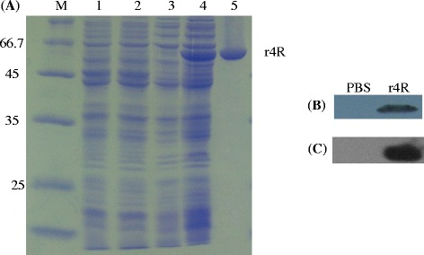 Characterization of the expressed and purified chimeric r4R protein. a SDS-PAGE analysis of the expression and purification steps of the r4R protein. Pellet (lane 1 and 3) and supernatant (lane 2 and 4) fractions of lysates from E. coli BL21 (DE3) cells containing the empty vector pET28a (lane 1 and 2) or pET28a-4R (lane 3 and 4) were electrophoresed in a 10 % SDS-PAGE gel. M indicates the protein ladder. Lane 5 contains the purified recombinant 4R protein. b Anti- Leptospira Western blot analysis. The purified chimeric r4R protein was run on a SDS-PAGE gel and transferred to a PVDF membrane. Serum from heat-killed L. interrogans strain Lai immunized rabbits was used as a primary antibody to detect r4R. Serum from PBS injected rabbits was used as control. c Anti-r4R Western analysis. The purified chimeric r4R protein was run on SDS-PAGE gel and transferred to a PVDF membrane. Serum from guinea pigsimmunized with PBS (negative control) or chimeric protein, were used as primary antibody