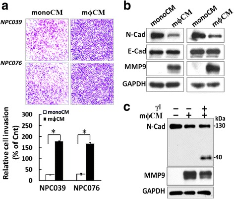 Blockade of N-cadherin cleavage decreased m ϕ CM-induced cell invasion and MMP-9 levels. a m ϕ CM enhanced NPC cell invasion. NPC cells were seeded into the inner well of the Boyden chamber, pre-coated with matrix-gel and monoCM or m ϕ CM, then introduced into the outer well of the Boyden chamber for 24 h. Cells that invaded the lower surface of the filter were fixed, stained, photographed and counted. Representative plots of Matrigel invasion assay are shown. Data are mean±SEM. N = 3, * P