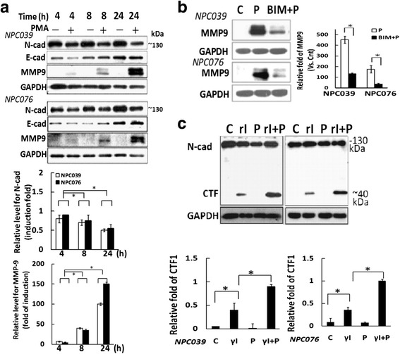 PMA induced the cleavage of N-cadherin. a N-cad and MMP9 expression with/without PMA treatment. NPC cells were exposed to PMA at the indicated times, and cell lysates underwent immunoblotting. The relative band intensities of N-cadherin and MMP-9 proteins were normalized to GAPDH by densitometry. Data are mean±SEM. * P