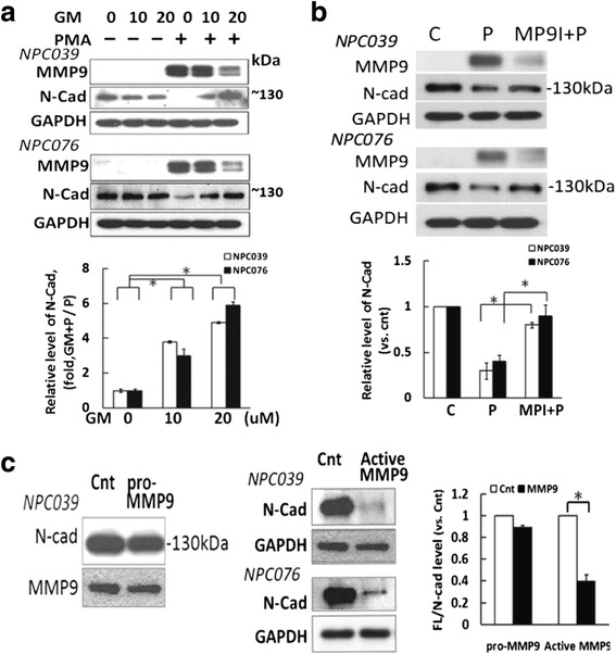 MMP-9 inhibitors abolished PMA-inducedN-cadherin cleavage. NPC cells were pre-treated with ( a ) GM6001 (GM, 10–20 μM) or ( b ) a specific MMP-9 inhibitor (20 μM) for 2 h, then co-incubated with PMA (100 nM) for 24 h. Cell lysates underwent immunoblotting with the indicated antibodies. The relative band intensities of FL/N-cad were compared with the control group (PMA-untreated cells), and relative expression (RLE) of N-cadherin is shown as the ratio of GM-plus-PMA–treated group to PMA treatment alone. c The effect of pro-MMP-9 or activated MMP-9 on the cleavage of N-cadherin.Pro-MMP-9 (R D, 911-MPN-010) was activated by incubation in TCNB buffer for 24 h at 37 °C. NPC-TW039 cells were exposed to activated MMP-9 or pro-MMP-9 (0.1 nM) for 7 h. Cell lysates underwent western blot analysis with anti-N-cadherin antibody. The relative expression of FL/N-cad was compared to the control group (activated MMP-9-untreated cells); N = 3, * P
