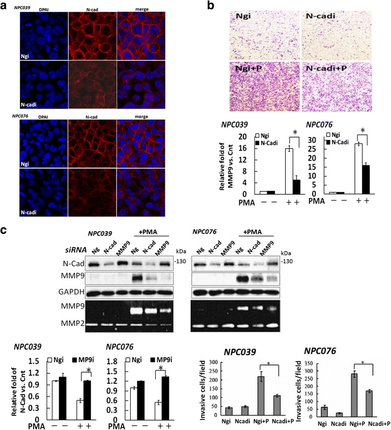 Cross-talk regulation between N-cadherin cleavage and MMP-9 expression. a SiRNA silencing of N-cadherin disrupted the cell–cell adhesion. NPC cells were transfected with N-cadherin siRNA for 24 h, then examined by immunofluoresence staining with anti-N-cadherin antibodies and analyzed by confocal laser scanning microscopy. b Silencing of N-cadherin decreased PMA-mediated cell invasion. NPC cells were transfected with N-cadherin siRNA for 24 h, then cell invasion was investigated by Boyden chamber assay. Representative images are shown and data are presented as mean±SEM. c NPC cells were transfected with siRNA specific for MMP-9 or N-cadherin for 24 h, then exposed to PMA for 24 h. The transfected cells were cultured with and without PMA for 24 h. The expression of MMP-9 and N-cadherin in cell lysates was assessed by western blot analysis with the indicated antibodies. MMP-9 level in CM was detected by gelatin zymography. The relative expression of FL/N-cad or MMP-9 in MMP-9 siRNA- or N-cadsiRNA-transfected cells was compared with Ng (non-specific control) siRNA (Ngi) -transfected cells after PMA treatment; N = 3, * P