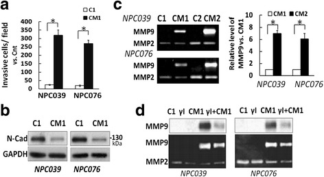 CM1 significantly enhanced cell invasion accompanied by increments of MMP-9 upregulation and N-cadherin cleavage. Briefly, NPC cells were cultured with and without PMA for 8 h, then PMA-containing medium was completely removed and replaced with completed medium for 24 h. The CM was collected and referred to as CM1 or C1. a CM1 induced NPC cell invasion. The invasive capability of CM1-treated NPC cells was investigated. CM1 was introduced into the outer well of NPC-cell–seeded Boyden chambers for 24 h. The invasive cells at the lower surface of the membrane were fixed, stained, photographed and counted. Data are mean±SEM. * p