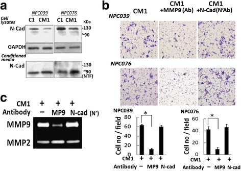 CM1-derived MMP-9 mediated cell invasion. C1 or CM1 was harvested as described in Fig. 7 . a NTF/N-cad was detected in CM1. Equal amounts of cell lysate or CM underwent western blot analysis with an anti-N-cadherin antibody (sc-7939) that recognizes the extracellular domain (FL/N-cad, ~130 kDa; NTF/N-cad, ~90 kDa). b Co-incubation with an anti-MMP-9 antibody decreased CM1-mediated cell invasion. CM1 was co-incubated with antibodies for IgG, MMP-9 or NTF/N-cad for 2 h, then introduced into the outer well of the Boyden chamber for 24 h. Cells on the lower surface of the membrane were fixed and stained with crystal violet. Data are mean±SEM. N = 3, * P