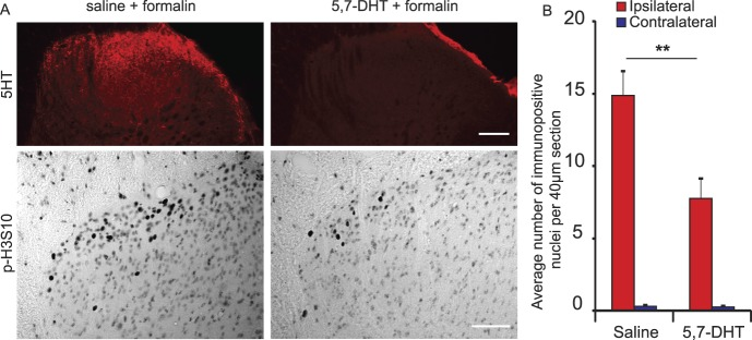 Depletion of spinal serotonin prevents the full expression of formalin-induced p-H3S10. (A) Typical dorsal horn image of 5-HT and p-H3S10 staining in animals receiving i.t. saline or i.t. (5,7-DHT), 30 minutes after formalin stimulation. Scale bar, 50 μm (upper), 30 μm (lower). (B) Counts of p-H3S10 nuclei in the ipsilateral and contralateral dorsal horn (n = 7 each group, 5 sections per animal). Data show group mean ± SEM (per 40-μm section). ** P