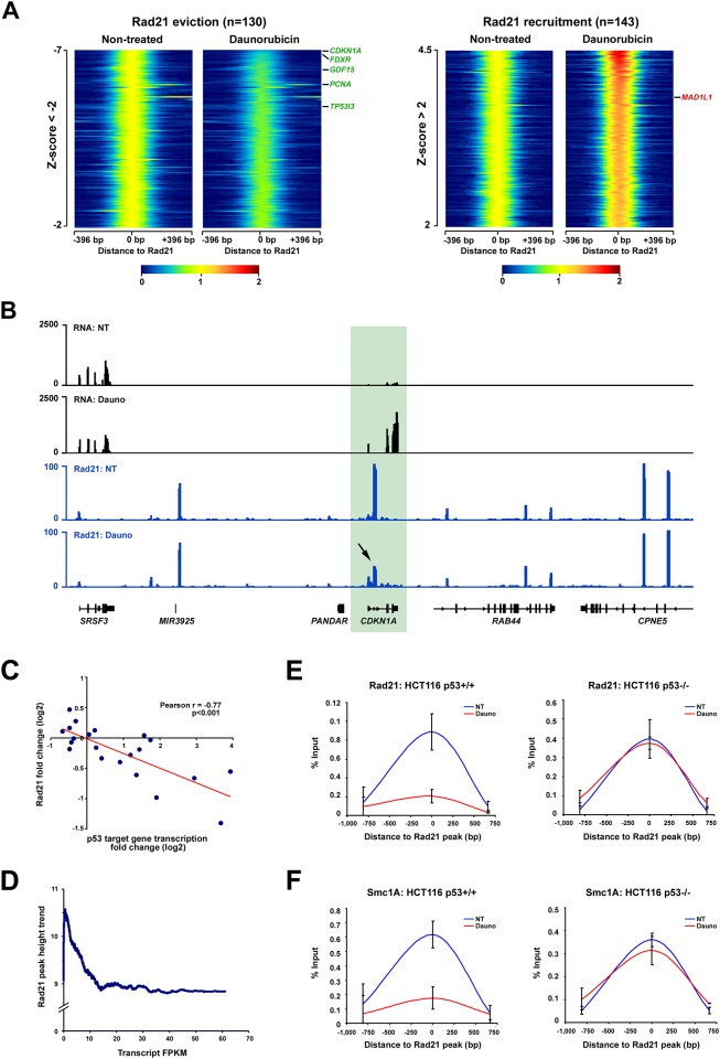 Cohesin binding is remodeled in response to stress and negatively correlates with the transcription induction of p53 target genes. ( A ) Heatmaps of Rad21 signal measured by ChIP-seq in non-treated and daunorubicin treated HCT116 p53 +/+ cells. Rad21 binding sites with a log2 fold change Z-score inferior to -2 and superior to 2 are presented. p53 target genes harboring a Rad21 site within their gene bodies and for which p53 is an activator are shown in green, those for which p53 is a repressor are shown in red ( B ) RNA-seq and Rad21 ChIP-seq tracks obtained in non-treated (NT) and daunorubicin-treated (Dauno) HCT116 p53 +/+ cells. The signal obtained at the CDKN1A locus is presented. ( C ) Correlation of Rad21 binding signal fold change with gene transcription fold change for Rad21 binding sites located within p53 target genes. ( D ) Correlation of Rad21 peak height and gene transcription FPKM for all Rad21 binding sites located within genes. Data obtained in non-treated HCT116 p53 +/+ cells. ( E ) ChIP of Rad21 in HCT116 p53 +/+ and p53 -/- cells at the intragenic CDKN1A cohesin binding site. ( F ) ChIP of Smc1A in HCT116 p53 +/+ and p53 -/- cells at the intragenic CDKN1A cohesin binding site.