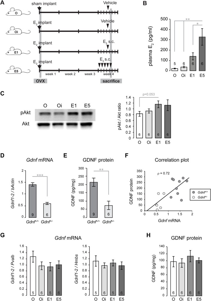 Absence of GDNF modulation by estradiol replacement in ovariectomized female mice. (A) Mouse experimental model. Ovariectomized (ovx) animals were separated in four groups and received either sham implant (O) or E 2 implant (Oi, E1 and E5) at surgery time. Three weeks later, mice received Vehicle (O and Oi), a single s.c. E 2 injection (E1), or five E 2 injections over 5 days (E5). Animals were sacrificed 24 hours after s.c. injection (O, Oi, E1) or 4–5 hours after the last injection (E5). (B) Vertical bar graph showing the mean ± SEM of plasma E 2 in O, Oi, E1 and E5 mice. This shows that the estrogen replacement protocol induced an increase in circulating E 2 in ovx mice. (C) Western blot analysis of phosphorylated Akt (pAkt) showing a representative blot (left), and pAkt / Akt ratio is shown with a vertical bar graph (right). The greatest difference is found between O and E1 (p = 0.053). (D) Gdnf mRNA expression, reported as Gdnf1-2 relative to bActin , in the striatum of wild-type ( Gdnf +/+ ) and heterozygous mice ( Gdnf +/- ). (E) GDNF protein content expressed as pg / mg total protein in Gdnf +/+ and Gdnf +/- striatum. (F) Scatter plot diagram showing the positive correlation (ρ = 0.72, p = 0.002) between Gdnf mRNA (shown in D) and GDNF protein levels (shown in E) in Gdnf +/+ and Gdnf +/- striata. This data shows that GDNF protein concentration measured by ELISA is consistent with Gdnf gene expression level. (G) QPCR analysis of Gdnf expression measured by Gdnf1-2 relative to Parv mRNA (left graph) or <t>Hmbs</t> mRNA (right). (H) ELISA analysis of GDNF protein levels showing no difference between the experimental groups. All data are presented as the mean ± SEM. *, p