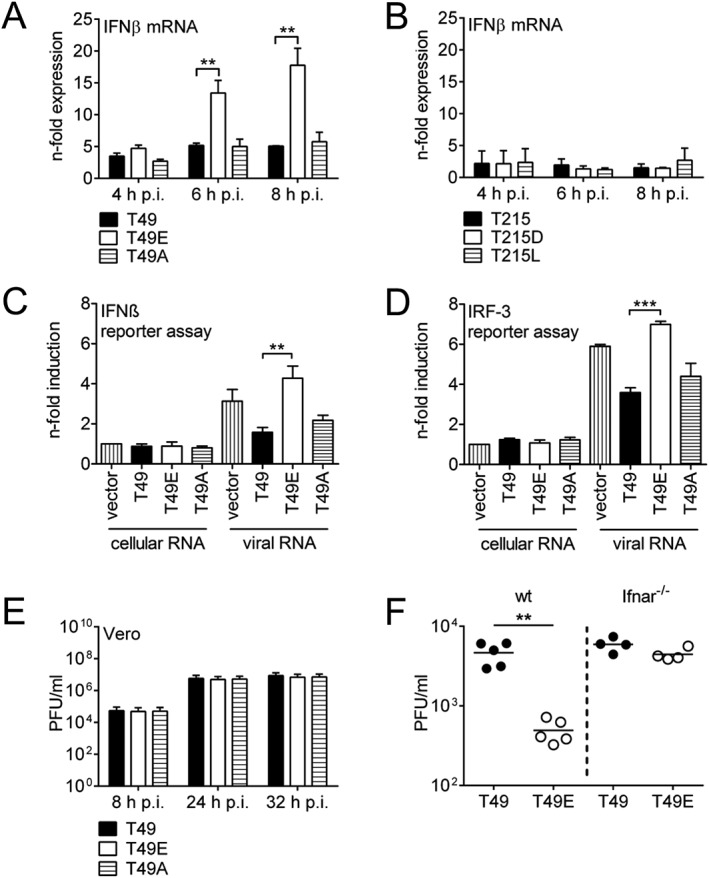 The T49E substitution affects interferon β (IFNβ) antagonistic properties of NS1. A, B. IFNβ mRNA expression in A549 cells infected with recombinant PR8 viruses containing wt NS1 or NS1 with different mutations (MOI = 5) was measured by <t>qRT‐PCR.</t> Values represent n ‐fold expression of mock‐infected cells and are displayed as mean ± SD of three independently repeated experiments. One‐way ANOVA followed by Dunnett's multiple comparisons test using T49 or T215 as controls was used for statistical analysis of each time point separately (** p ≤ 0.01). C, D. Phosphorylation of NS1 T49 suppresses IFNβ promoter activity. A549 cells were transfected with pcDNA3 plasmids containing different NS1 genes and with luciferase reporter gene plasmids harbouring the IFN promotor or the IRF‐3 domain only. After 24 h, cells were stimulated with vRNA or cellular RNA and luciferase activity in cell lysates was measured after 6 h. Results represent means ± SD of three independently repeated experiments. Luciferase activity of empty vector transfected, cellular RNA stimulated cells was taken as unity. Statistical significance of vRNA stimulated cells was analysed by one‐way ANOVA followed by Dunnett's multiple comparisons test using T49 as control (** p ≤ 0.01, *** p ≤ 0.001). E. Multi‐cycle replication kinetics of recombinant PR8 viruses with wt NS1 or NS1 with different mutations in Vero cells infected at a MOI of 0.01. Results represent means ± SD of three independently repeated experiments. F. Viral replication in lungs of C57Bl/6 and C57Bl/6 Ifnar1 –/– mice. Mice were infected with 10 3 PFU of PR8/NS1‐T49 or PR8/NS1‐T49E and lung virus titers were determined after 3 days. PFU/ml of lung homogenate are presented. Statistical analysis was performed using the Mann‐Whitney U test (** p ≤ 0.01).