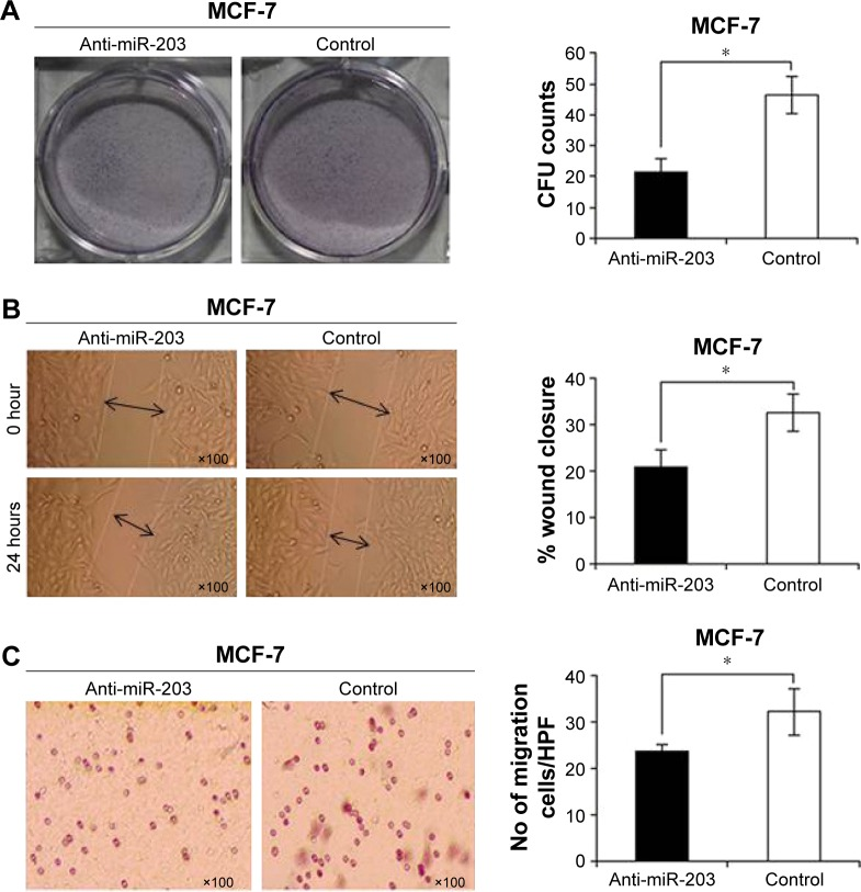 Effect of miR-203 knockdown on the ability of MCF-7 cell proliferation, transformation, and migration was assayed by ( A ) cloning formation assay ( B ) wound healing assay, and ( C ) transwell assay (* P