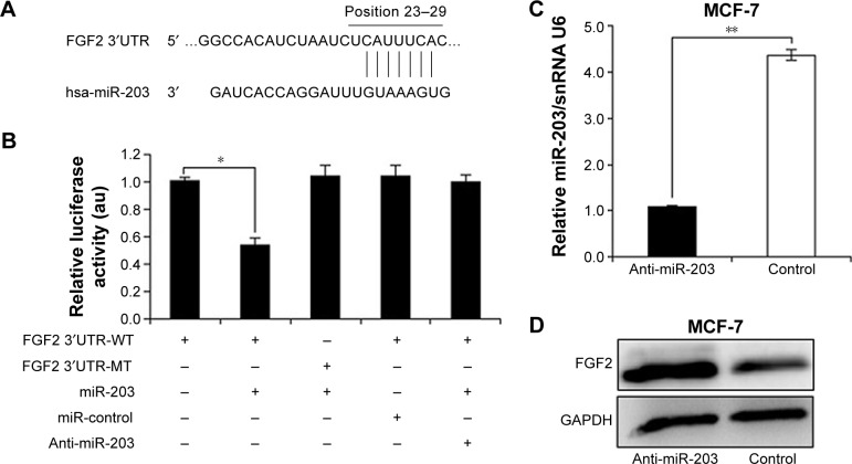 miR-203 targets FGF2. Notes: ( A ) Computational analysis of the FGF2 3′UTR revealed a putative conserved miR-203-binding site. ( B ) Luciferase assays showed decreased luciferase activity after cotransfection of FGF2 3′UTR with miR-203 in MCF-7 cells. The results are presented as mean ± standard error from three independent experiments. ( C ) miR-203 expression in MCF-7 cells transfected with anti-miR-203 or control inhibitor. ( D ) FGF2 protein expression in MCF-7 cells transfected with anti-miR-203 or control inhibitor. The results are presented from three independent experiments (* P
