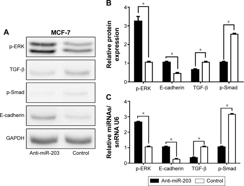 Effects of <t>miR-203</t> knockdown on MAPK/ERK and TGF-β pathway in MCF-7 cells. Notes: ( A and B ) The expression level of relative proteins after miR-203 knockdown in MCF-7 cells. The blot was reprobed with GAPDH antibody to compare protein load. ( C ) The expression level of miRNA of relative proteins after miR-203 knockdown in MCF-7 cells by RT-PCR. The results are presented from three independent experiments (* P