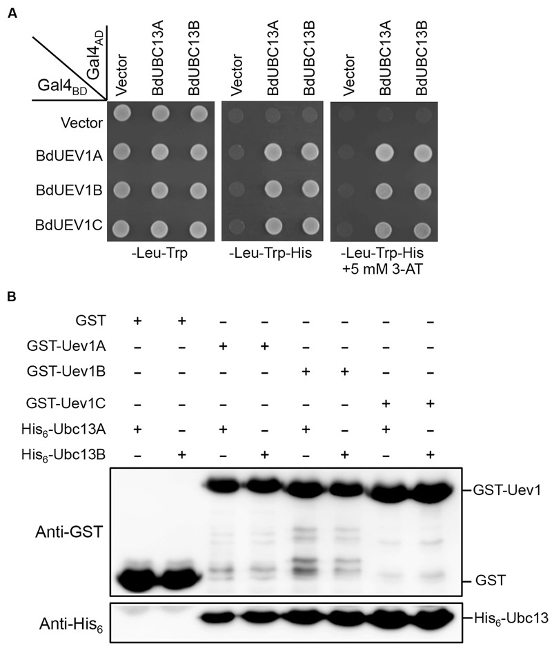 BdUev1s physically interact with BdUbc13s. (A) Physical interaction between BdUev1s and BdUbc13s in a yeast two-hybrid assay. PJ69-4a cells were transformed with BdUEV1 s and BdUBC13 s genes and the transformants carrying one Gal4 BD (pGBT9) and one Gal4 AD (pGAD424) plasmid were then selected, replicated onto various plates as indicated and incubated for 3 days before being photographed. The result is representative of at least five independent transformants from each treatment. (B) Protein interactions between BdUev1s and BdUbc13s by an affinity pull-down assay. <t>BL21</t> (DE3) cells were transformed with pGEX-BdUEV1s, and target gene expression was induced by adding 0.2 mM IPTG. Crude cell extracts were loaded on Glutathione Sepharose TM 4B beads and 10 μg of purified His 6 -BdUbc13.