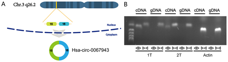 Characterization of hsa_circ_0067934 in ESCC cells and tissue. ( A ) Two exons form hsa_circ_0067934 by back splicing from chromosomal region 3q26.2. ( B ) Divergent primers detect circular RNAs in cDNA but not genomic DNA (gDNA).