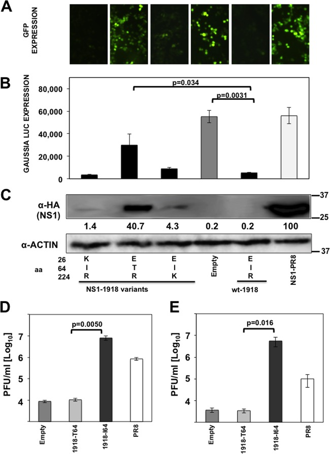 Mutation I64T in IAV 1918 H1N1 NS1 affects its ability to inhibit general gene expression and innate immune responses. (A, B, and C) Human 293T cells were transiently cotransfected with pCAGGS plasmids expressing the different NS1 variants indicated and the WT 1918-NS1 (E26, I64, and R224), along with pCAGGS plasmids expressing the reporter proteins GFP and Gluc. (A) At 30 hpt, GFP expression was visualized using a fluorescence microscope. (B) Gluc expression was analyzed at 30 hpt using luminescence. Error bars represent the standard deviations for triplicates. P values using Student's t test are indicated. (C) In addition, NS1 and actin expression levels were analyzed by Western blotting from cell extracts using antibodies specific to the HA tag (to detect the NS1 protein) and to actin as a loading control. Western blots were quantified by densitometry using the software ImageJ (v1.46), and the amounts of NS1 protein were normalized to the amounts of actin protein. Protein expression in cells transfected with the PR8-NS1-expressing plasmid was considered to be 100% for comparison with the level of expression by the other NS1 variants (numbers below the NS1 blot). Molecular mass markers (in kilodaltons) are indicated on the right. Three different experiments were performed, with similar results. (D and E) Human A549 cells were transfected with pCAGGS plasmids expressing the 1918-NS1-I64, 1918-NS-T64, or PR8-NS1 protein using DNA-IN. At 24 hpt, cells were either transfected with 100 ng of poly(I·C) (D) or treated with 250 U/ml of universal IFN-α (E) to induce an antiviral cellular state. At 16 h posttreatment, cells were infected (MOI, 0.001) with VSV-GFP, and viral titers in the TCS were determined at 21 hpi. Bars represent the standard deviations from triplicates. Experiments were repeated 3 times in triplicate wells with similar results. P values using Student's t test are indicated.