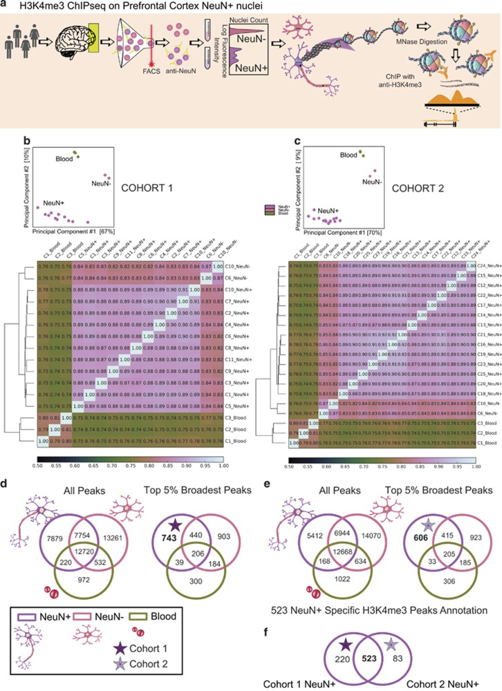 Cell-type-specific histone methylation profiling in PFC. ( a ) Graphical outline of experiment starting with postmortem cerebral cortex (PFC) to generate cell-type-specific H3K4me3 maps. ( b , c ) Heatmaps for Spearman's rank correlation coefficients comparing H3K4me3 profiles for three peripheral mononuclear blood cells (blood), two sorted NeuN− PFC cells, compared with ( b ) 11 PFC NeuN+ samples (cohort 1) and ( c ) 14 PFC NeuN+ samples (cohort 2) each from a different individual, showing much higher correlations between samples from the same cell type as compared with sample correlations across cell types and tissues. Principal component analyses showing complete separation of NeuN+ samples from other cell types with the first two principal components. ( d , e ) Venn diagrams showing absolute number of peaks for NeuN+, NeuN− and blood, confirming for ( d ) cohort 1 and ( e ) cohort 2 the enrichment cell-type-specific peaks among the top 5% broadest H3K4me3 peaks, as compared with the total set of peaks. ( f ) Venn diagram confirming that large majority of neuron-specific peaks from cohort 1 are confirmed in replication sample (cohort 2). ChIP-seq, chromatin immunoprecipitation and next-generation sequencing; H3K4me3, H3-trimethyl lysine 4; PFC, prefrontal cortex.