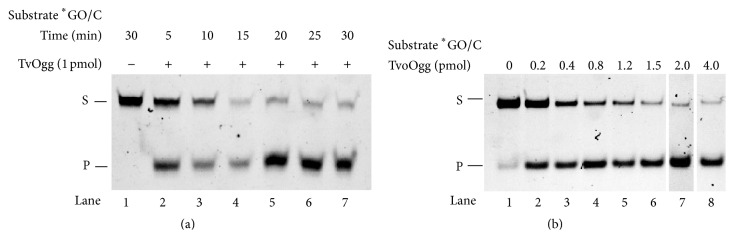 GO <t>glycosylase/lyase</t> activity assay of putative TvoOgg. (a) Time course of TvoOgg glycosylase activity on substrate ∗ GO/C. 34-bp heteroduplex <t>DNA</t> containing a ∗ GO/C mismatch was incubated with (lanes 2 to 7) or without (lane 1) 1 pmol of TvoOgg. The uncut 34-mer DNA substrate (S) and cleaved 13-mer product (P) are indicated on the left. (b) Dose dependency of ∗ GO/C mismatch-specific DNA glycosylase activity of TvoOgg on 34-bp double-stranded DNA containing GO/C. The uncut 34-mer DNA substrates (S) and cleaved 13-mer products (P) are indicated on the left. Asterisk indicated the 5′FAM-labeled strand.