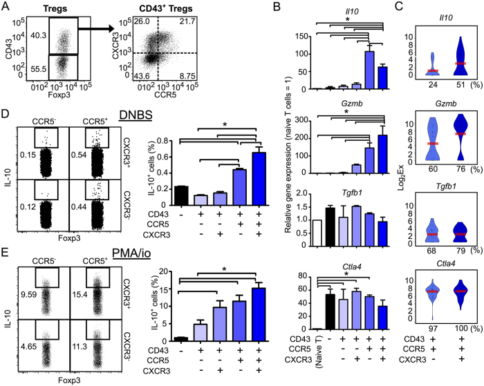 CD43 + CCR5 + Tregs are a major subset of Gzmb -/ IL10 -expressing Tregs. ( A ) Flow cytometry gating strategy for five Treg subsets (CD43 − and CD43 + CCR5 +/− CXCR3 +/− Tregs) isolated from the dLN of CHS mice. ( B ) The population-wide expression levels of the genes Il10 , Gzmb , Tgfb1 and Ctla4 genes within CD43 − and CD43 + CXCR3 +/− CCR5 +/− Treg subsets, relative to expression levels in naive T cells ( n = 3). ( C ) Violin plots showing expression levels of the genes Il10 , Gzmb , Tgfb1 and Ctla4 genes in individual Tregs in the CD43 + CCR5 + CXCR3 − or CXCR3 + subsets ( n = 37 each). Bars indicate average expression levels. Percentages under each plot indicate the proportion of cells that expressed the gene. Figures 4C and 5A show scqPCR data for CD43 + CCR5 + CXCR3 − or CXCR3 + Tregs. ( D,E ) The proportions of IL-10-producing cells in Treg subsets ( n = 3) stimulated with DNBS ( D ) or PMA/ionomycin ( E ). Flow cytometry dot plots indicate IL-10 expression in the CD43 + CXCR3 +/− CCR5 +/− Treg subsets. Flow cytometry data are representative of three independent experiments; values on the plots indicate the percentage of the parent population. Data in bar graphs represent means ± SEM. Statistical comparisons were performed by one-way ANOVA with Tukey's post-hoc test (* p