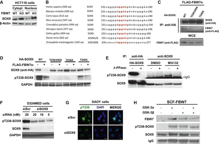 SOX 9 interacts with FBW 7α through its conserved degron motif phosphorylated by GSK 3 Western blotting of total SOX9 protein levels in the cytoplasmic and nuclear fractions of HCT116‐FBW7 WT versus KO cells. The β‐actin was used as a loading control. General evolutionary conservation for SOX9 amino acid sequence surrounding the human CPD motif (highlighted in red) of threonine 236–240 across species. Western blotting of FLAG‐FBW7α eluted from the immunoprecipitated HA‐SOX9 wild‐type (WT) or CPD mutants (‐T236/240A and ‐T240A). The HA‐SOX9‐WT and the CPD mutant constructs were transiently co‐expressed for 24 h with FLAG‐FBW7α in HEK293 prior to immunoprecipitation with anti‐HA antibody. Equal protein expression of FBW7α across the HEK293 cells transfected with different SOX9 constructs was assessed by immunoblotting of the whole‐cell extract. Co‐expression of FBW7α with HA‐SOX9 WT or various other CPD mutant constructs (‐T236/240A, ‐T236A, or ‐T240A) in HEK293 cells. Whole‐cell lysates were collected 24 h following transfection for Western blotting of the total exogenous and the phosphorylated SOX9 proteins using anti‐HA and our pT236‐SOX9 antibody, respectively. Immunoblot of GAPDH protein was used to indicate protein loading in each lane. Detection of both exogenous and endogenous phosphorylated SOX9 protein from SOX9 immunoprecipitates. HA‐SOX9‐transfected or non‐transfected HEK293 cells were used as sources for exogenous and endogenous SOX9 protein, respectively. Following SOX9 immunoprecipitation with either anti‐HA (for exogenous) or anti‐SOX9 (for endogenous) antibody, the resulting immunoprecipitates were divided and either treated with λ‐phosphatase or left untreated prior to gel electrophoresis and immunoblotting with pT236‐SOX9 antibody. The SOX9 protein blot shows the total protein level present in each sample. Treatment of HEK293 with proteasome inhibitor MG132 (10 μM) increased the level of phosphorylated SOX9. Immunoblots of endogenous pT236 and total SOX9 protein 24 h following transfection of D324MED medulloblastoma cell line with either non‐targeting scramble RNA (siScr) or increasing concentrations of siRNA against SOX9. GAPDH protein was used to indicated protein loading for each sample Representative immunofluorescence staining depicting high intensity of pT236‐SOX9 (Alexa Fluor 488; green) staining in the nucleus (counterstained with DAPI; blue) in Daoy medulloblastoma cells. Transfection of Daoy cells with 20 nM siSOX9 depleted the nuclear staining of pT236‐SOX9. Images were taken using a 40× objective. Scale bar: 20 μm. Bead‐immobilized IVT HA‐SOX9 WT were subjected to in vitro kinase reaction with 1 unit of recombinant active GSK3α, GSK3β, or their combination (i.e., 0.5 unit for each isoform) for 90 min at 37°C prior to elution and gel electrophoresis. The SOX9 blot shows total SOX9 protein eluted from the beads from each in vitro kinase reaction.