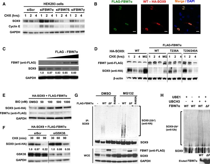 FBW 7α promotes SOX 9 protein turnover in a GSK 3‐dependent manner through ubiquitin–proteasome system Endogenous SOX9 protein turnover in the presence of cycloheximide following RNAi depletion of FBW7α, FBW7β, or FBW7γ. HEK293 cells were transfected with 20 nM of scrambled siRNA or siRNAs specifically targeting FBW7α, FBW7β , or FBW7γ for 72 h prior to chase with the addition of 100 ng/ml cycloheximide. Immunoblot of cyclin E, an established SCF FBW7 substrate, was used to assess the efficacy of RNAi‐mediated depletion of FBW7 protein. GAPDH served as a protein loading control. Immunofluorescence staining of D324MED medulloblastoma cells showing nuclear co‐localization of HA‐SOX9 WT (Alexa Fluor 568; red) and FLAG‐FBW7α (Alexa Fluor 488; green). The cell nuclei were counterstained with DAPI (blue). Images are representative of multiple fields taken at 40× objective magnification. Scale bar indicates 20 μm. Endogenous SOX9 protein levels following transfection (24 h) of 100, 250, 500, and 1,000 ng of plasmid expressing FLAG‐FBW7α. Changes in SOX9 protein levels were analyzed relative to GAPDH levels using ImageJ. The blots shown are representative of three independent experiments. Expression of FLAG‐FBW7α enhance HA‐SOX9‐WT protein turnover but not HA‐SOX9‐T236A or HA‐SOX9‐T236A/T240A protein turnover over a 4‐h cycloheximide (100 ng/ml) chase in HEK293 cells. β‐actin protein served as a loading control. The blots shown are representative of four independent experiments. Treatment of HEK293 cells with increasing concentration of the GSK3α/β inhibitor BIO, increase HA‐SOX9‐WT protein level in a dose‐dependent manner. HA‐SOX9‐WT and FLAG‐FBW7α were co‐expressed in HEK293 cells prior to treatment with different concentrations of BIO for 4 h. Whole‐cell lysates were collected for Western blotting with anti‐HA (SOX9) and anti‐FLAG (FBW7) antibodies. GAPDH served as a protein loading control. The blots shown are representative of two independent experiments. RNAi depletion of GSK3β attenuate FBW7α‐induced HA‐SOX9‐WT turnover in HEK293 cells. HA‐SOX9‐WT protein turnover was examined following 48 h depletion of siGSK3b (20 nM) in the presence of cycloheximide (100 ng/ml). Immunoblots with GSK3β antibodies demonstrated depletion of GSK3β protein with the siRNA. Changes in SOX9 protein levels were analyzed relative to GAPDH levels using ImageJ. The blots shown are representative of three independent experiments. FLAG‐FBW7α‐WT expression promote poly‐ubiquitylation of endogenous SOX9 in HEK293 cells. Expression of FBW7α lacking the F‐box domain (ΔF), or containing R465A mutation did not induce SOX9 poly‐ubiquitylation in vivo . Ubiquitylation assay was performed under denaturing condition to disrupt non‐covalently linked ubiquitin as described in the Materials and Methods. Expression of different FLAG‐FBW7α constructs and endogenous SOX9 protein were examined in the whole‐cell lysates. GAPDH protein was used as a loading control. The blots shown are representative of four independent experiments. Reconstitution of SOX9 poly‐ubiquitylation by FLAG‐FBW7α in vitro . Immobilized IVT HA‐SOX9 WT was incubated with FLAG‐FBW7α‐WT or the ΔF mutant for 60 min at 37°C. Reaction mixture lacking the UbE1, an E1 ubiquitin‐activating enzyme, or UbcH3, an E2 ubiquitin‐conjugating enzyme, served as a negative control for the in vitro reaction. SOX9 poly‐ubiquitylation was assessed following elution of the protein from the immobilized beads under denaturing condition as described in Materials and Methods . The blots shown are representative of three independent experiments.