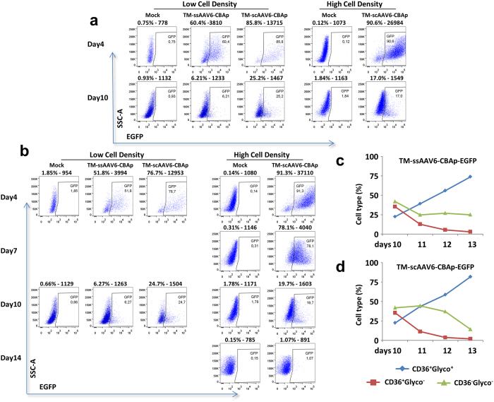 Transduction efficiency of TM-ssAAV6 and TM-scAAV6 vectors in primary human CD34 + cells. (a) Primary human cord blood-derived CD34 + cells were either mock-transduced, or transduced at day 0 at low (0.5 × 10 6 cells/ml,) or high (1 × 10 7 cells/ml) cell density with 20,000 vgs/cell of the indicated AAV6 vectors in serum free XVIVO20 medium. Two hrs later, cells were diluted to 5 × 10 5 cells/mL and switched to the expansion medium (IMDM + FBS + SCF + IL3 + Epo+ Dexamethasone + β-estradiol + β-mercapthoethanol). EGFP expression was determined by flow cytometry at day 4 and day 10 post-transduction. (b) Following mock-transduction, or transduction of CD34 + cells as described above, cells were switched to the expansion medium for 10 days, and cultured in an erythroid differentiation medium (IMDM + BSA + Insulin + Transferrin + Epo) for an additional four days. EGFP expression was determined by flow cytometry. (c , d) Vector-transduced CD34 + cells cultured in the differentiation medium were stained with hCD36-PE and hGlycophorin A − FITC and analyzed by flow cytometry for the following: non-erythroid (CD36 − /glycoA − ), and erythroid cells (CD36 + /GlycoA + ) from day 10 to day 14.