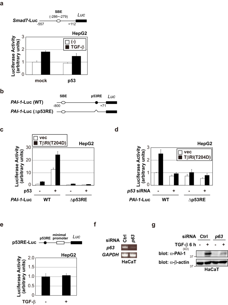 p53 selectively affects TGF-β target promoters containing both SBE and p53RE. ( a ) p53 did not significantly affect TGF-β-induced Smad7 promoter activation. HepG2 cells were transfected with Smad7 -Luc in the presence or absence of p53 expression plasmid. After 24 h, cells were treated with 100 pM of TGF-β. After 18 h, luciferase activity was measured. The experiments were performed in triplicate, and the data are represented as the mean-fold activation ± s.d. ( b ) A schematic representation of the human PAI-1 promoter constructs. ( c ) HepG2 cells were transfected with the indicated constructs. After 24 h, luciferase activity was measured as in ( a ). ( d ) HepG2 cells were transfected with the indicated constructs and siRNAs. After 24 h, luciferase activity was measured as in ( a ). ( e ) TGF-β could not transactivate a p53-responsive reporter. HepG2 cells were transfected with p53RE-Luc. After 24 h, cells were treated with 100 pM of TGF-β for 18 h. The luciferase activity was measured as in ( a ). ( f ) HaCaT cells were transiently transfected with the indicated siRNAs. After 48 h, expression of each gene was determined by semi-quantitative PCR. ( g ) HaCaT cells were transiently transfected with the indicated siRNAs. After 48 h, cells were treated with 100 pM of TGF-β for 6 h. The cell lysates were immunoblotted with the indicated antibodies. Uncropped images of gels/blots are shown in Supplementary Information, Figure S1 .