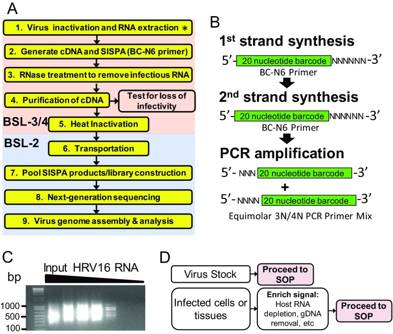 Overview of the proposed standard operating procedure (SOP) for rapid next-generation sequencing library preparation and inactivation of ssRNA+ viruses. (A) Stepwise overview of the SOP. A detailed protocol is provided in Text S1 in the supplemental material. Steps in the pink box denote work performed in a biosafety level 3 and/or 4 (BSL-3/4) laboratory. Steps in the blue box denote work that can be performed in a BSL-2 laboratory. The asterisk in step 1 indicates that for nonselect agent pathogens (e.g., West Nile virus), extracted RNA may be moved to BSL-2 for library construction. Step 1, generating cDNA and SISPA, utilizes a primer with a random hexamer coupled to a unique barcode (BC-N6). SISPA stands for sequence-independent single-primer amplification. (B) The BC-N6 primer is used for both generating single-stranded cDNA from input RNA and generating double-stranded DNA by randomly priming the synthesized cDNA. A PCR step using primers only encoding the barcode sequence with either three or four random nucleotides (3N/4N) at the 5′ end simultaneously amplifies and uniquely identifies (barcodes) a sample. (C) Representative gel image that displays products of the SOP obtained from serial dilutions of genomic human rhinovirus 16 (HRV-16) virion RNA. At high-input RNA amounts, a smear between 200 bp and 1,000 bp is visible. This signal intensity diminishes as the starting material is diluted. (D) Summary of diverse types of starting material which can feed into the SOP. Samples enriched for virus-specific sequence (e.g., virion stocks) can directly proceed to the SOP. For samples that contain a majority of host nucleic acid, the use of upstream procedures to enrich for virus-specific signal (e.g., rRNA depletion or mRNA enhancement) is recommended.