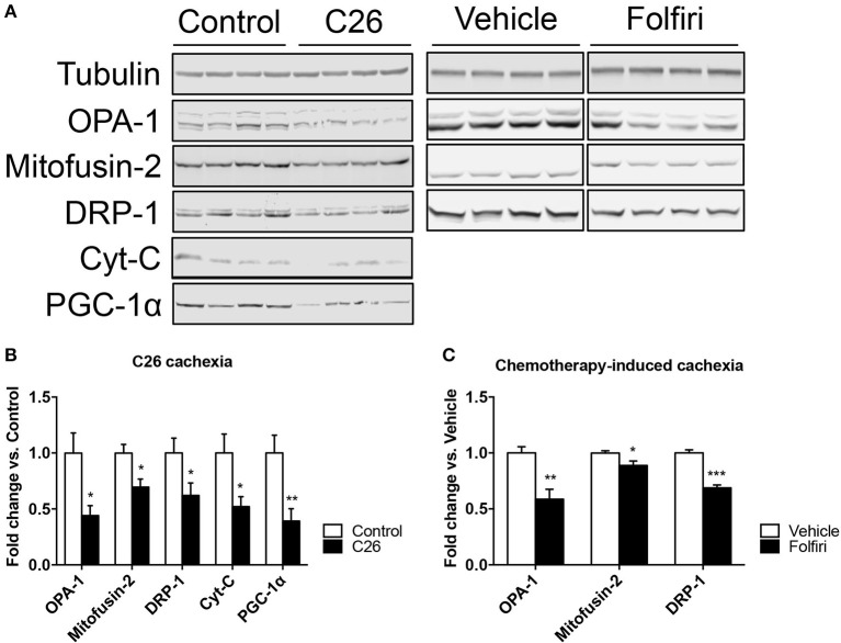 The expression of markers of mitochondrial fusion, fission and biogenesis is affected by tumor and drug-induced cachexia. (A) Representative western blotting for OPA-1, Mitofusin-2, DRP-1, Cytochrome-C (Cyt-C), and PGC-1α in the muscle of C26 hosts or mice exposed to Folfiri. (B,C) Quantification of the bands ( n = 4). Significance of the differences: * p