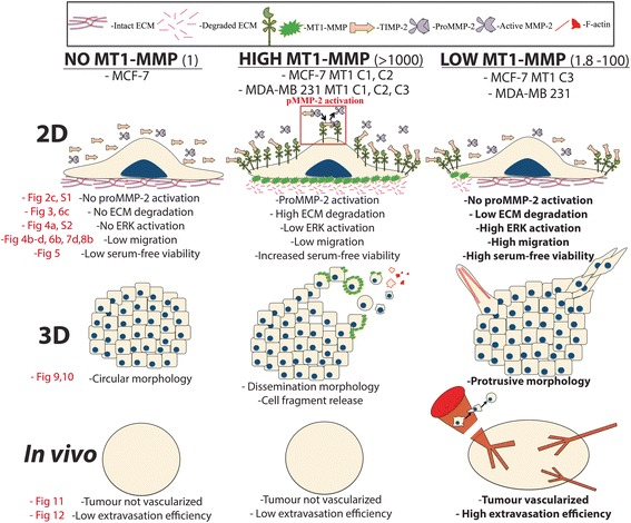 Schematic overview of MT1-MMP expression levels and associated changes in substrate degradation and cell migration in 2D culture, phenotypes in 3D culture, and tumourigenesis in vivo. Schematic representation of the findings of this study showing cell phenotypes across 2D and 3D culture platforms and in vivo. Legend describing molecular components in diagrams is shown at the top, and fold change relative to MCF-7 parental cells is in the brackets to the right of the bolded titles. MT1-MMP deficient breast cancer cells, such as MCF-7 cells, are incapable of proMMP-2 activation or ECM degradation, and show low migration and viability during serum-free incubation. These cells retain a circular morphology in 3D culture, and do not form vascularized tumours nor display high extravasation efficiency in vivo. Cells expressing high levels of MT1-MMP are capable of proMMP-2 activation and widespread ECM degradation, have increased survivability to serum-free stress, but do not demonstrate increased migration in 2D experiments. In 3D culture, these cells demonstrate a dissemination morphology and cell fragment release mediated by MT1-MMP. Despite MT1-MMP protein production and associated substrate degradation, these cells are unable to form vascularized tumours or increase their extravasation efficiency in vivo. Cells expressing low levels of MT1-MMP do not demonstrate proMMP-2 activation or widespread ECM degradation, but do show increased migratory potential, and high viability during serum-free incubation. These cells demonstrate a protrusive morphology in 3D culture, form vascularized tumours in vivo, and have significantly increased extravasation efficiency. Data figures within this study that correspond to the diagrams within this model are in red text