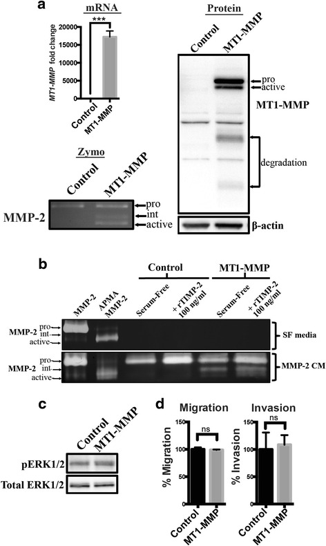 Transient overexpression of MT1-MMP in MCF-7 cells did not result in increased migration and invasion ( a ) qPCR, immunoblot, and gelatin zymography analysis of MT1-MMP mRNA, protein levels, and proMMP-2 activation ability, respectively, of MCF-7 breast cancer cells transiently transfected with MT1-MMP compared to mock transfected cells (control). Immunoblot analysis (AB6004) showed pro-, active, and degradation forms of MT1-MMP protein in MT1-MMP transfected MCF-7 cells. β-actin was used as a loading control. Gelatin zymography analysis showed that MCF-7 cells transiently transfected with MT1-MMP were capable of activating proMMP-2 after 24 h of incubation as shown by intermediate and active forms of MMP-2. b Gelatin zymography analysis of MCF-7 cells transiently transfected with MT1-MMP and incubated for 12 h with serum-free media (SF, top gel) or MMP-2 conditioned media (CM, bottom gel). Lanes 1 and 2: Controls showing proMMP-2 CM chemically activated by APMA. Lanes 4 and 6: Recombinant TIMP-2 (rTIMP-2) was added at 100 ng/ml to enhance MT1-MMP-mediated proMMP-2 activation. c Immunoblot analysis of MT1-MMP transfected cells showing phospho-ERK1/2 levels. Total ERK1/2 was used as a loading control. d Transwell migration and invasion assays of MCF-7 cells transiently transfected with MT1-MMP. Number of migrated/invaded cells were normalized to control MCF-7 cells and expressed as a mean percentage ± SEM. (ns, p > 0.05 by student's t -test)